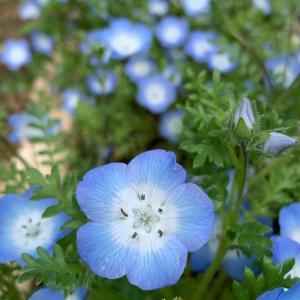 庭でネモフィラ満開に。家でも育てやすく楽しめる可愛いお花