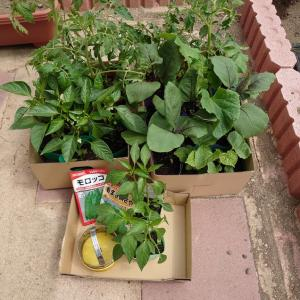 自宅の畑に苗植え&種まき
