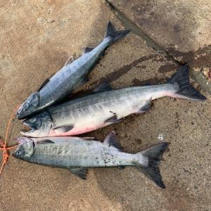荒れている中の3週連続の鮭釣り遠征~