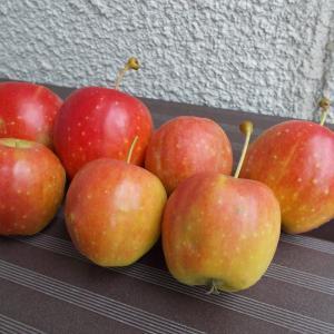 台風直前ですが、収穫した姫リンゴを果実酒にしました。