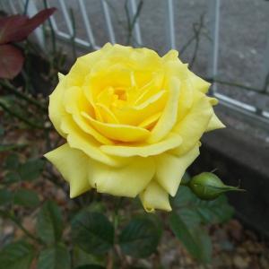 バラの蕾、どこまで咲くでしょう?