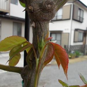 バラの蕾を確認していたら、もう害虫が……。