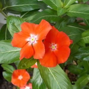 ニチニチソウ【夏みかん】のこぼれ種から発芽。