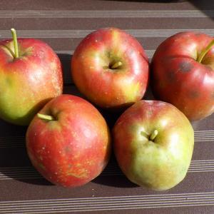 姫リンゴたくさん収穫できました。