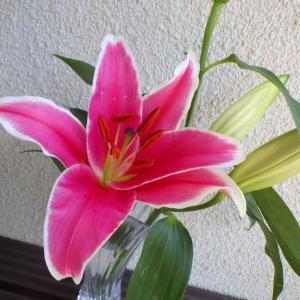 切り花のユリが鮮やかな色で咲きました。