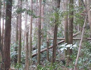 ■葉山保安林に入山-20 台風倒木と雑木の伐採
