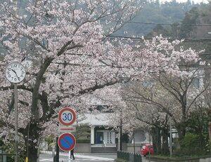 ■葉山町 桜ほぼ満開 東京より1W遅れ