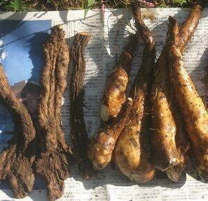 ■自然薯掘りと二度目のキャベツ苗定植/この時期の小潮長潮は潮が動かず畑仕事