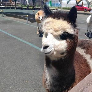 【長野県】八ヶ岳アルパカ牧場に行った感想!【写真大量】