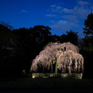 2020 桜!  ~御所 出水の桜ライトアップ~
