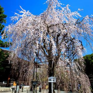 2020 桜!    ~千本釈迦堂~
