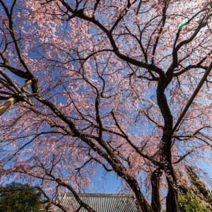 桜 2021 とあるお寺!