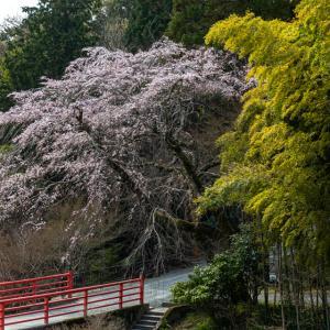 桜 2021 正法寺!