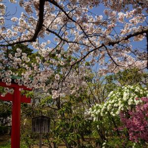 桜 2021 上品蓮台寺!