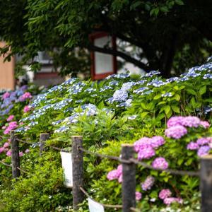 紫陽花!  ~六孫王神社~