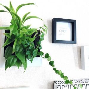 【無印】壁にかけられる観葉植物の、その後