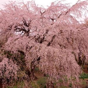 20190331 府中 東郷寺のしだれ桜