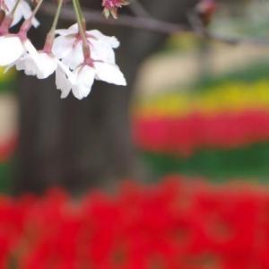 2019/04/17 昭和記念公園 チューリップ-2