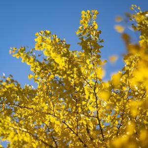 黄色い秋:千石神社のイチョウ