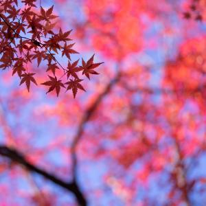 色づくモミジ葉:寺家公園