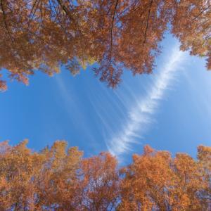 こちらにもメタセコイア並木:森林研究所