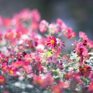 長く咲いている庭の菊