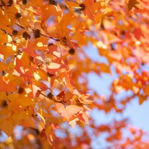 実も葉も色づいて:フウ