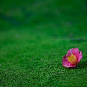 散り椿も美しい:内山邸