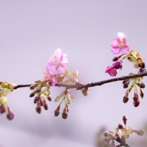 咲き出した庭の河津桜