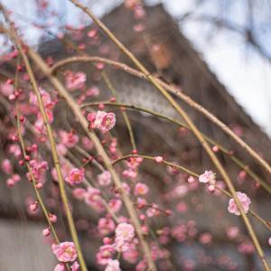 しだれ梅も咲いてきて:護国神社