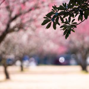 梅が満開:馬場記念公園