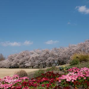 さくらまつりは今日までですが:中央植物園