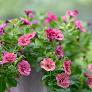 ビオラからカリブラコアに:花の入れ替え