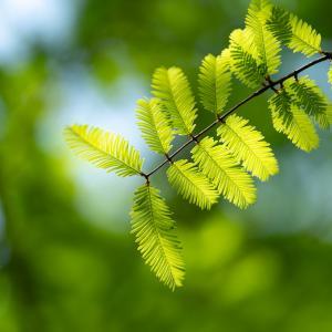 緑のメタセコイア:富山県総合運動公園