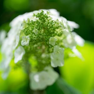白と緑:カシワバアジサイ