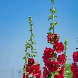 上まで咲くと夏:夏至のタチアオイ