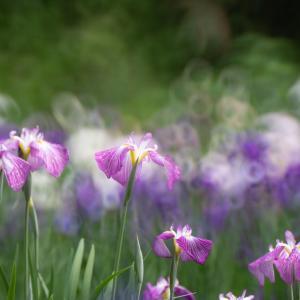 花しょうぶが見頃に:頼成の森