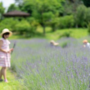 ラベンダーは、本来、雑草なんだ・・・:グリンパーク吉峰のハーブ園