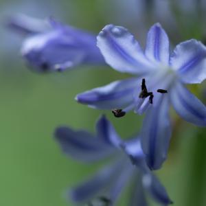 四季咲きでコンパクト:アガパンサス・サマーラブ