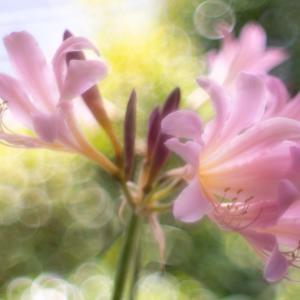 今年も咲いた庭のナツズイセン