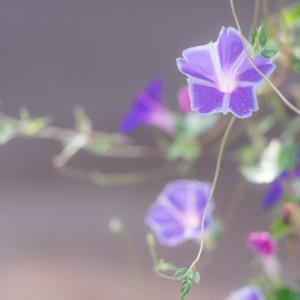 優しい色の星咲き朝顔
