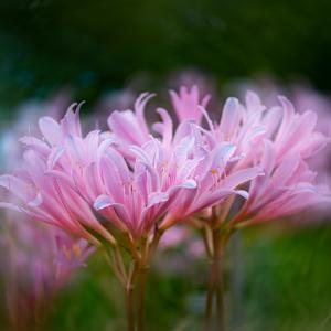 群れて咲くリコリス・スプレンゲリ