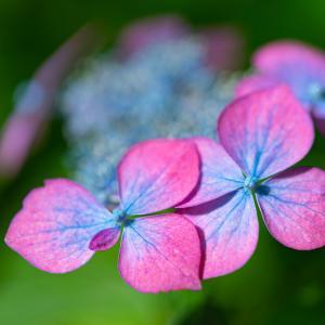 咲き始めたヤマアジサイ