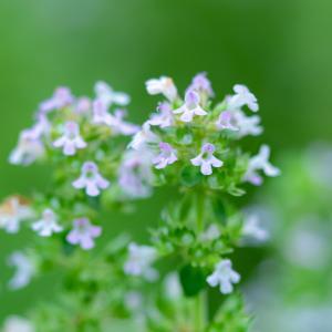 地味な花です:レモンタイム