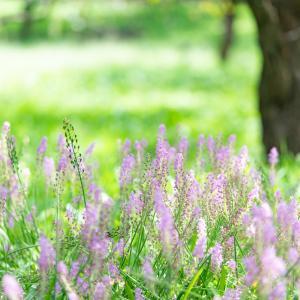 薄紫のツルボ