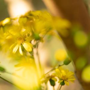 ツワブキの黄色い花
