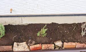 【成長過程】庭に地植えしたローズマリーの経過