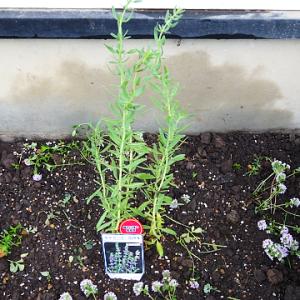 新しいヒソップを庭へ植え付けました