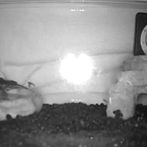 【第四回】モトイカブトトカゲの飼育