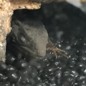 【第5回】モトイカブトトカゲの飼育